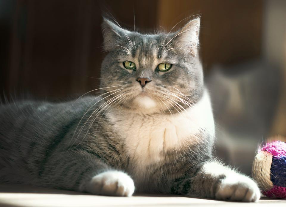 Adoption Et Si Vous Choisissiez Un Chat Adulte Heureux Avec Mon Chat